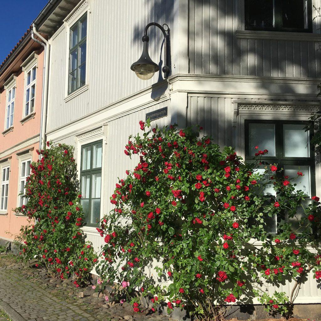 Når rosene blomstrer i Gamlebyen - et vakkert skue