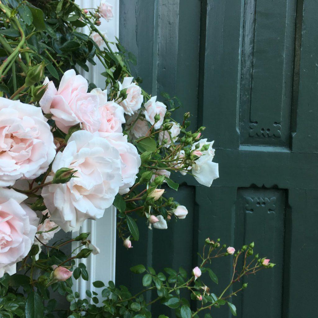 Når rosene blomstrer i Gamlebyen - så fint mot antikke dører på boligene