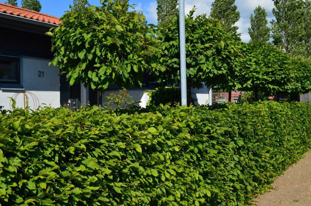 Hekken med bruk av Agnbøk. Trädgårdsrundorna.