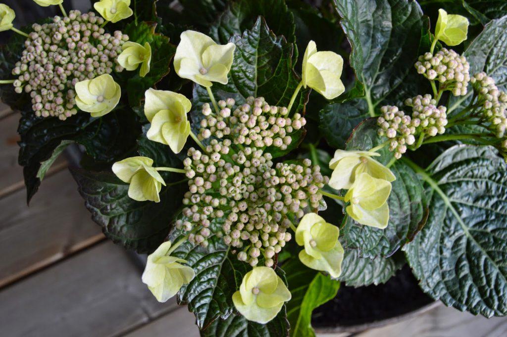 Sommerblomster i hvitt og lime er fiffig - Limefarget Hortensia