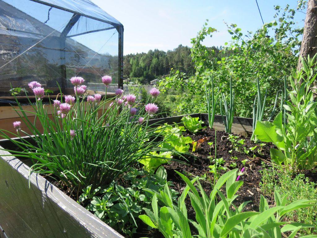 Her er det urter og grønnsaker fra en av de gamle pallekarmene i full groglede.