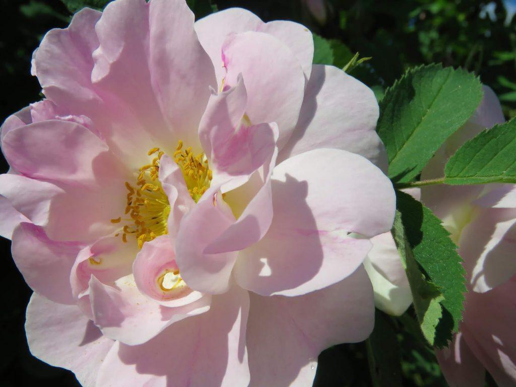 Nærbilde av en rose i rosariet i Jönköping, Småland