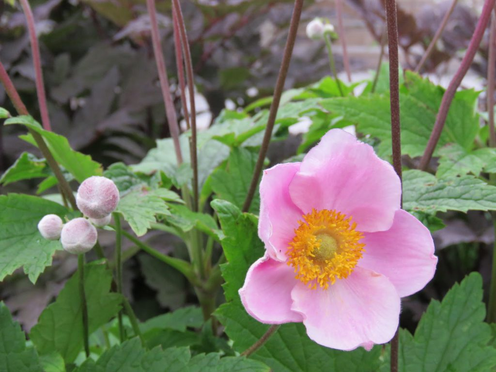 Tips til hagedesign. Nærbilde av Høstanemone i Furulunden.