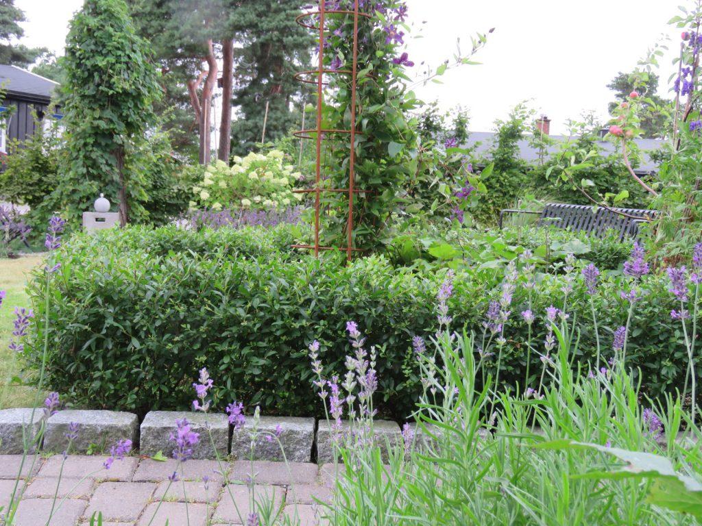 Tips til hagedesign. Ligusterhekk rundt et bed i Furulunden
