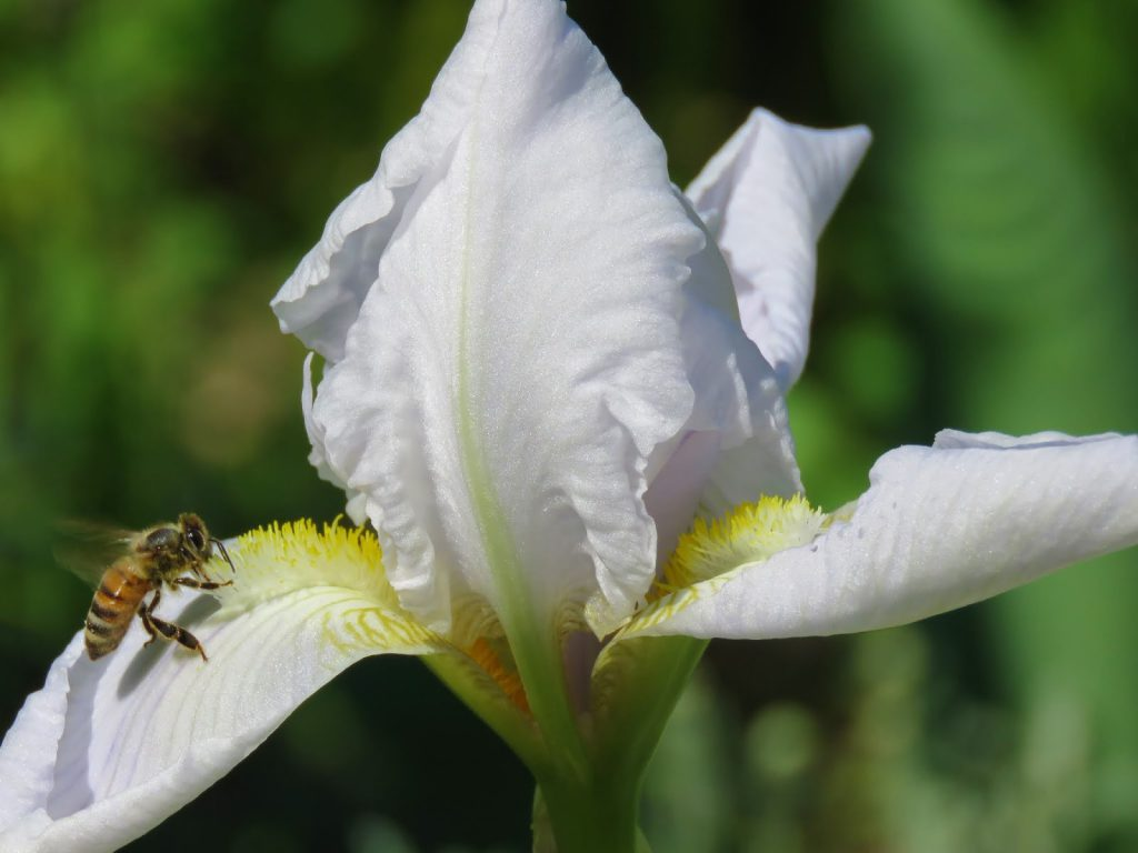 En vakker, hvit Iris i Wisingsborg trädgård på Visingsö i Vättern, Småland