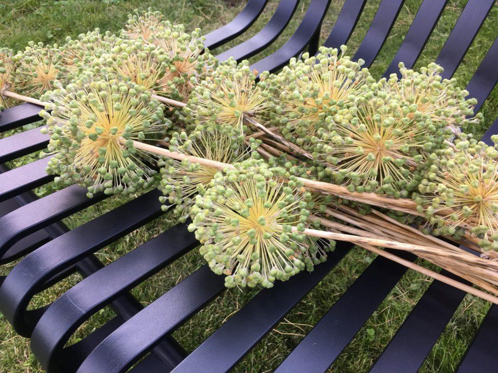 Foto 4: Frøsåing av Allium. Avblomstrete Allium i Furulunden