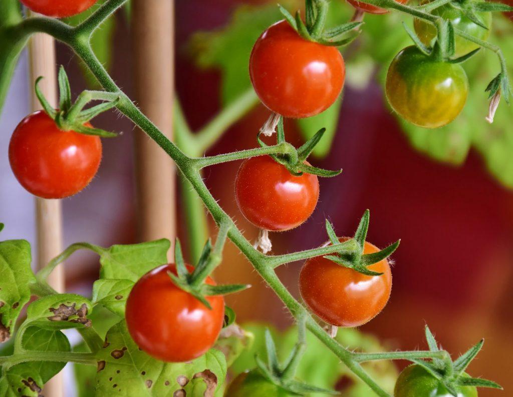 Foto 2 - Lag tomatplanter fra egne frø. Furulunden.