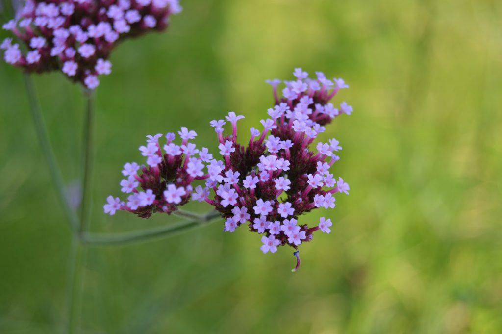 Nærbilde av kjempeverbena - Verbena bonariensis