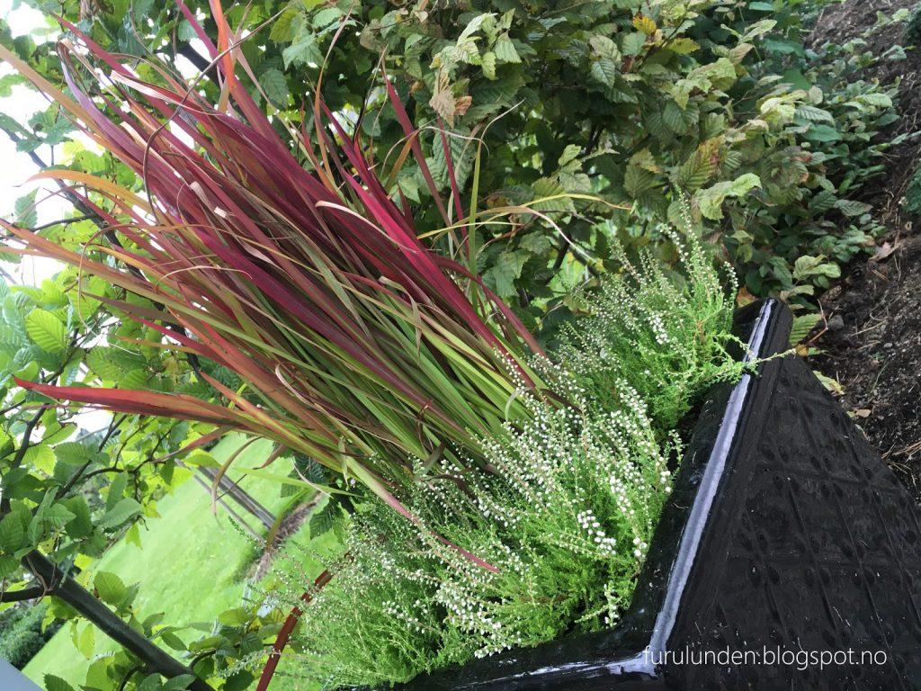 Inspirasjon til høstplanter i krukker - del 5.  Prydgress og lyng ønsker velkommen inn i Furulunden.