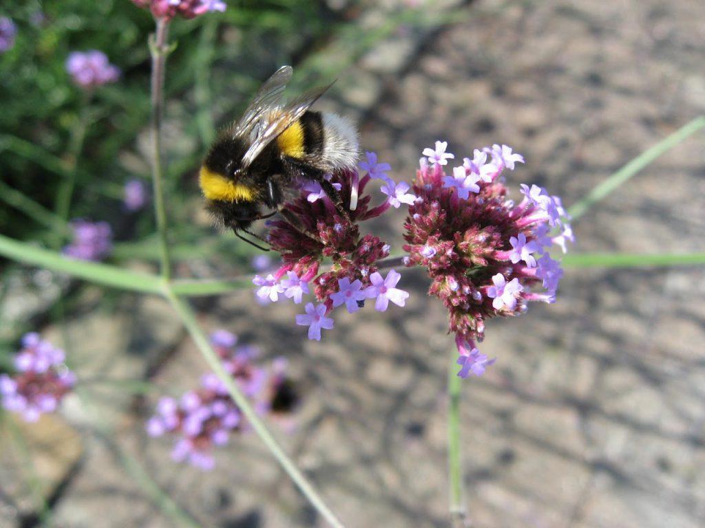 Kjempeverbena - Verbena bonariensis - Insekter og sommerfugler elsker den