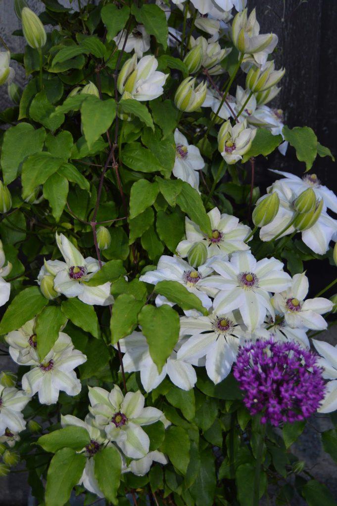 Klematis og Allium i sameksistens