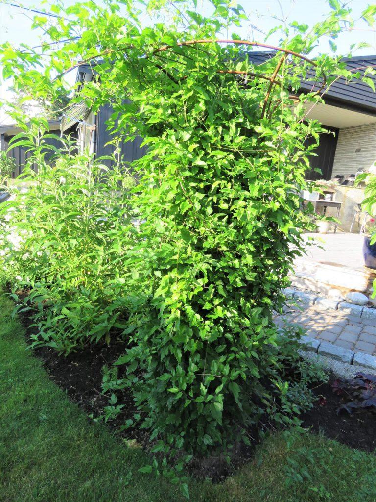 Høsten er en fin tid for å plante - flytte busker og stauder - I dette bedet har det blitt for trangt