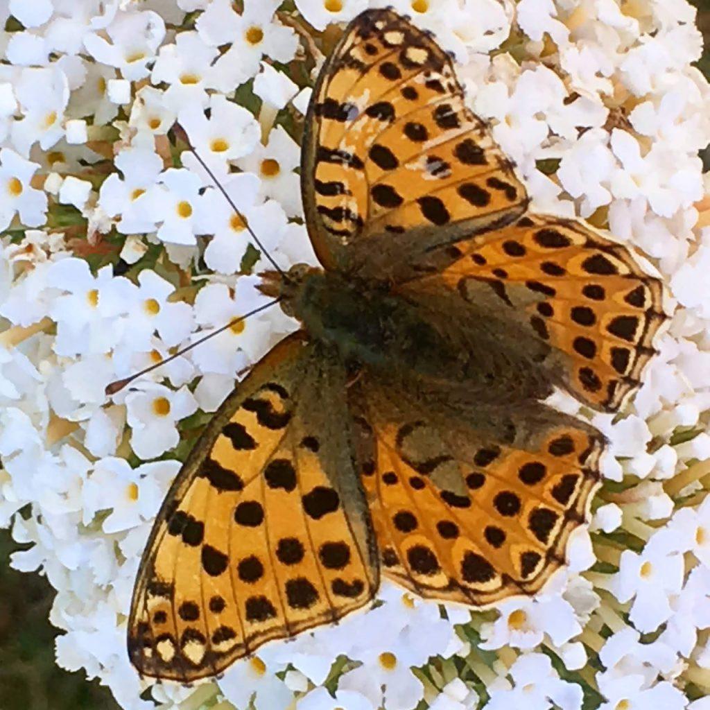 Høsten er en fin tid for å plante - flytte busker og stauder. En vakker sommerfugl på sommerfuglbusken. Furulunden.