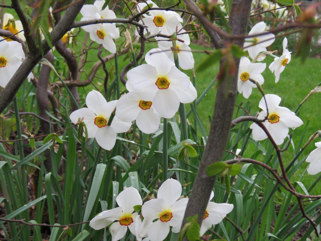 Endelig kom blomsterløkene i jorda. Pinsesliljer er også trofaste. Furulunden.