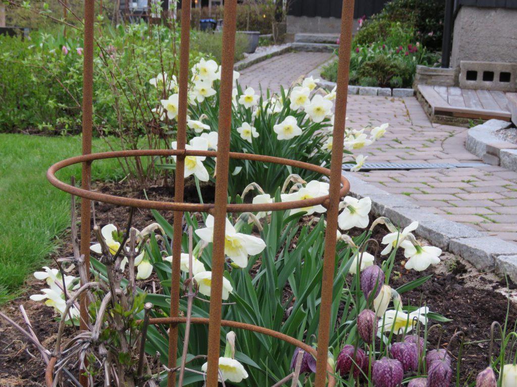 Endelig kom blomsterløkene i jorda. Narsisser og Rutelilje kommer tilbake, år etter år. Furulunden.