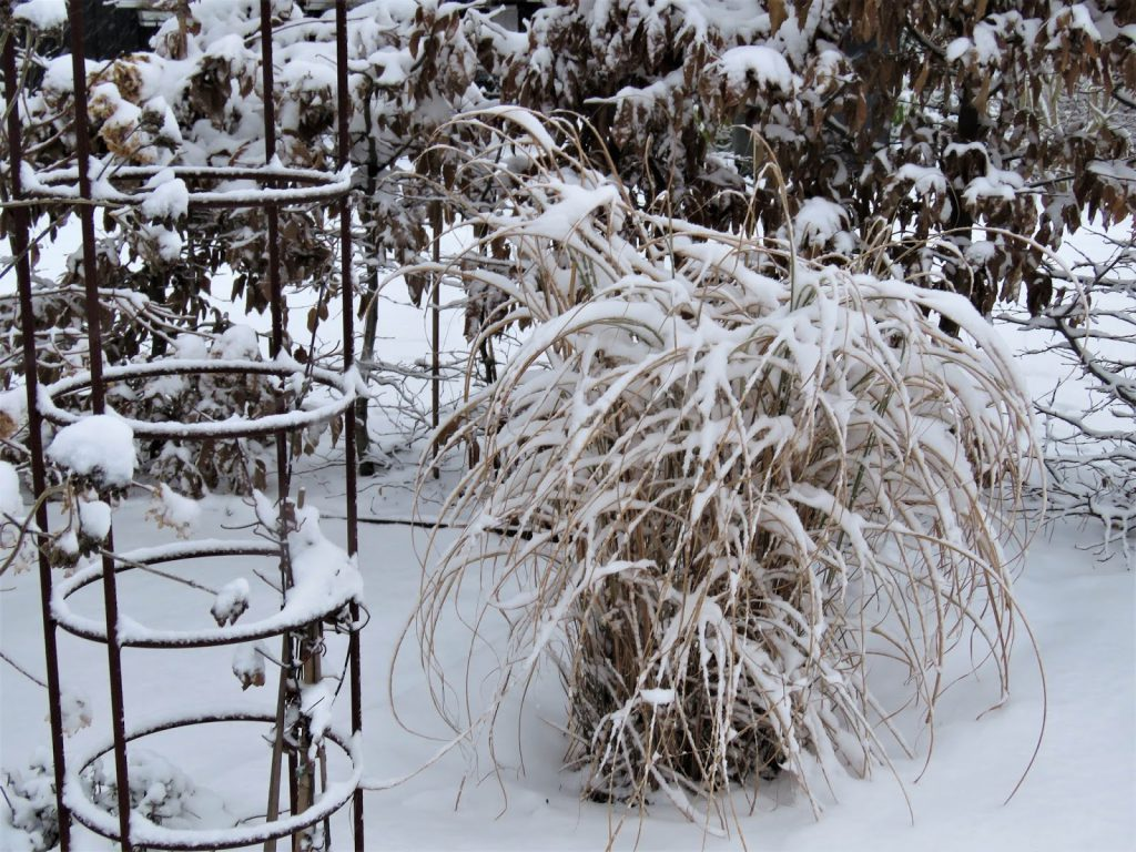 Miscanthus full av snø