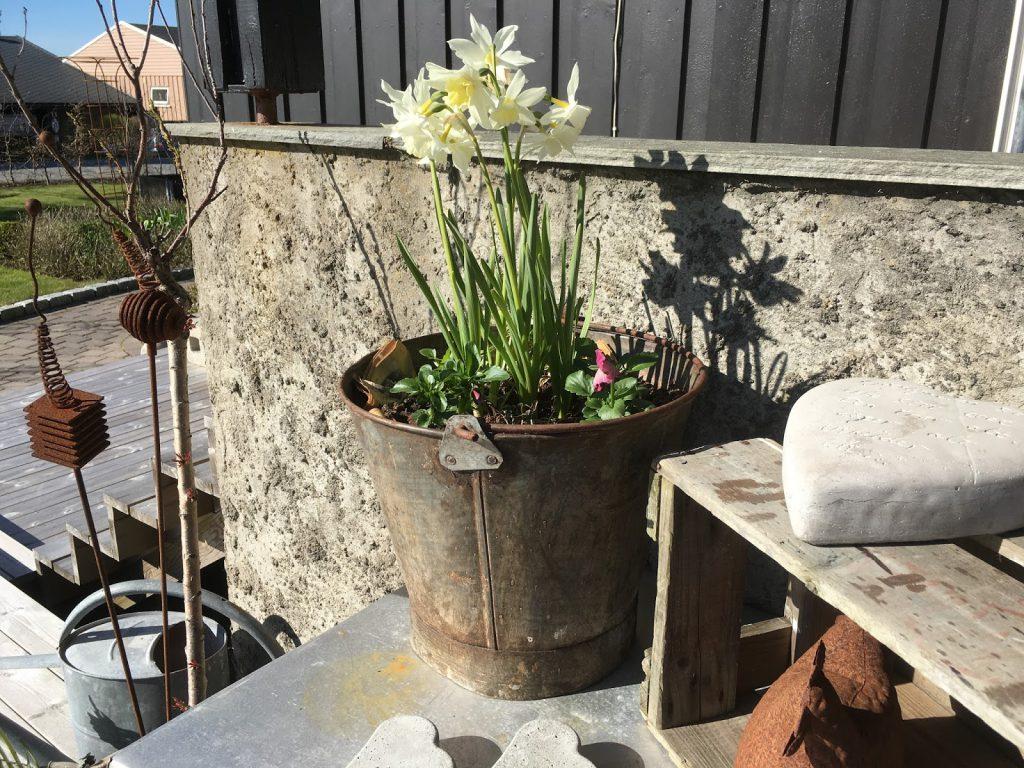 Endelig kom blomsterløkene i jorda. Narisser klarer seg selv, de kommer tilbake år etter år. Furulunden.