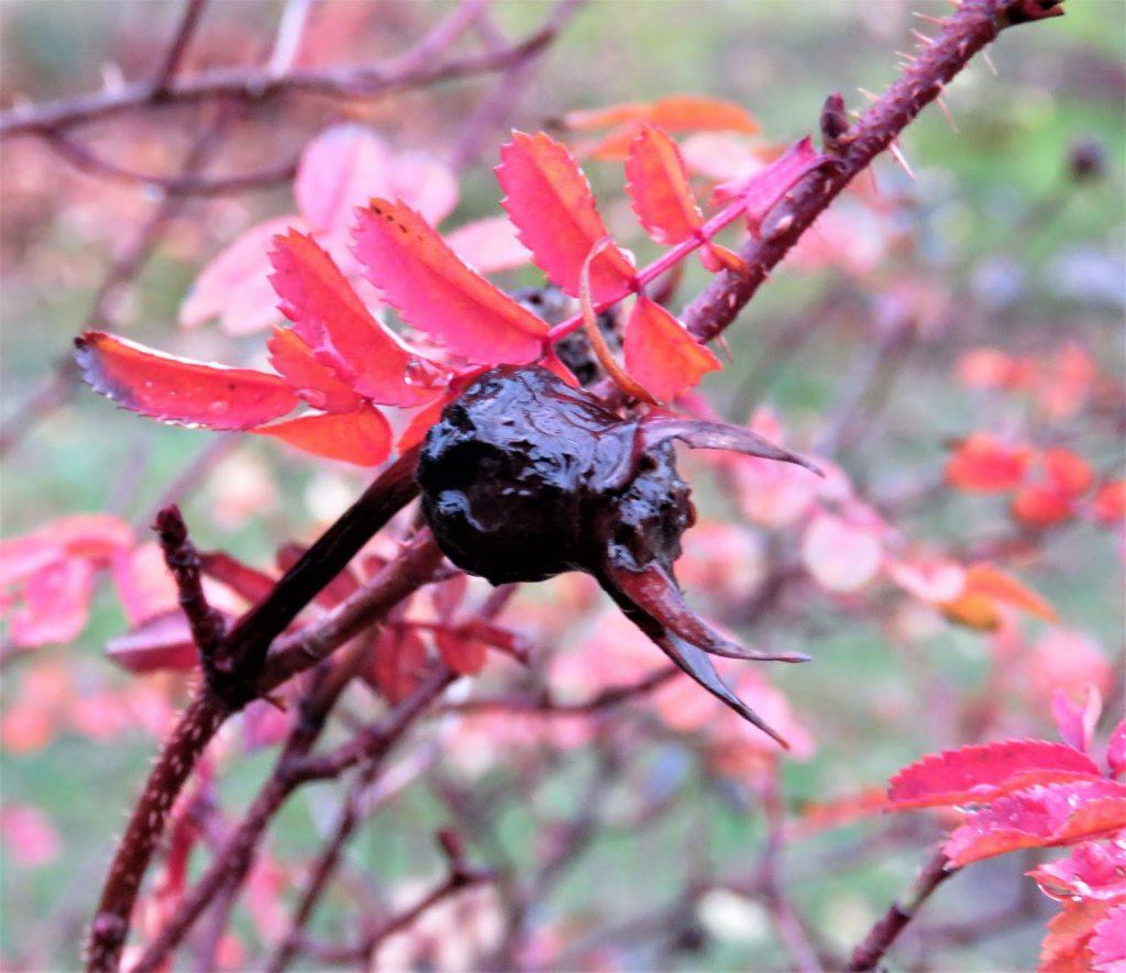 Hagen min kler seg i rust. Svarte nyper til rødt bladverk. Furulunden IMG_0006