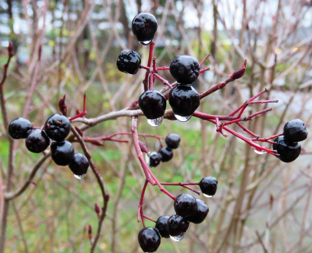 Svartsurbær - Aronia med regndråper. Furulunden IMG_0001