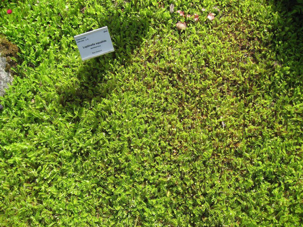 Tråkkbregne - Leptinella Cotula. Furulunden