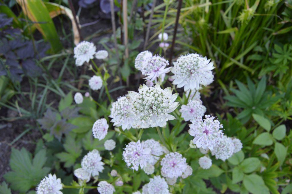 Stjerneskjerm Astrántia Májor er en kjærkommen plante i Furulunden