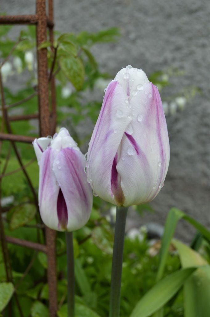 Tulipan etter regn