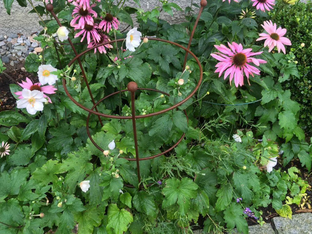 Herlig hvit og rosa purpursolhatt - sammen med andre planter i et bed