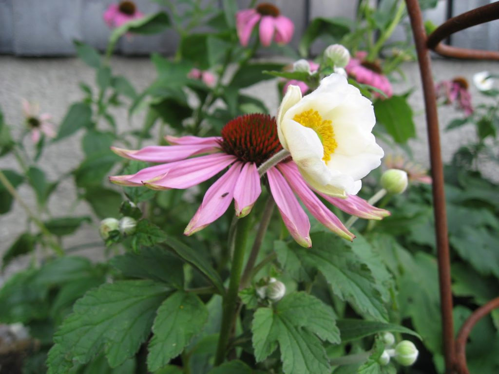 Herlig hvit og rosa purpursolhatt - her i sameksistens med hvit høstanemone