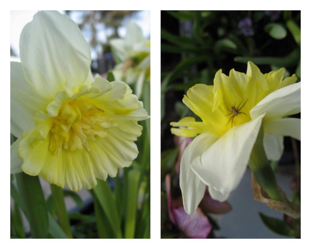 Ideer til vårblomstring i krukker - gult og/eller burguner - Kollasje av Narsiss i lys gult/hvitt