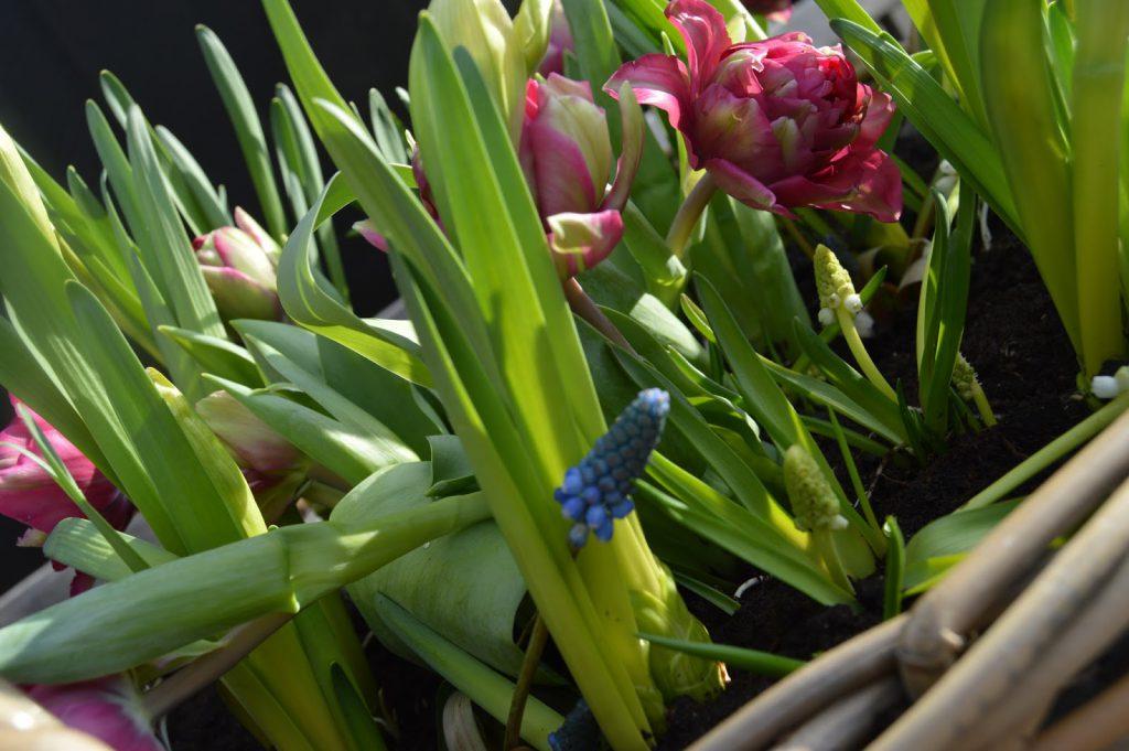 Tulipaner og perleblomster i krukke