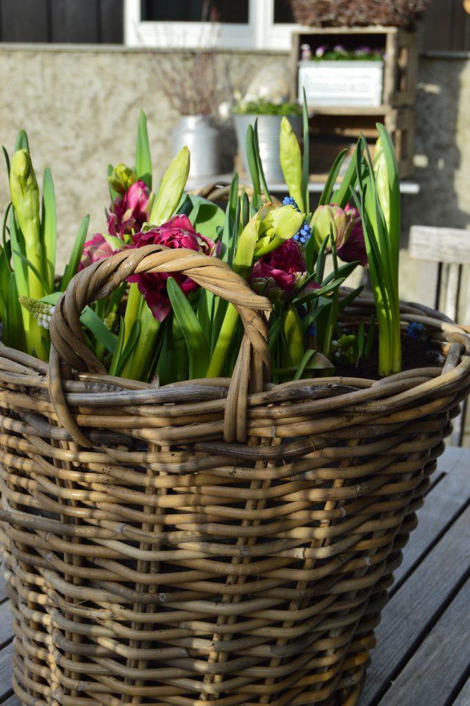 Tips til vårblomster i vårkrukker - flerfarget. Tulipaner, narsisser og perleblomster i krukke