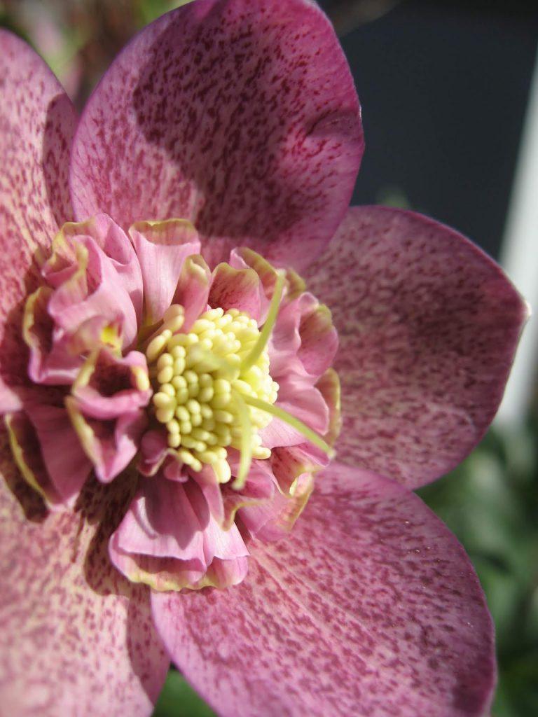 Ideer til vårblomstring i krukker - gult og/eller burguner - Påskeklokker/helleborus i vinrødt