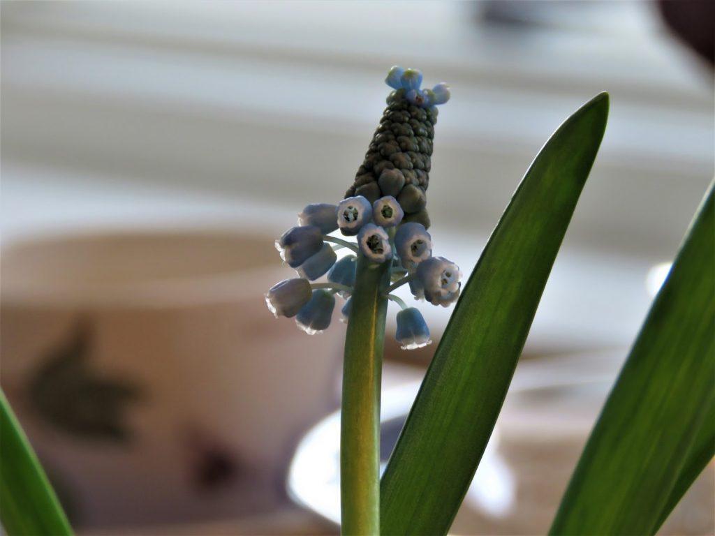 Boddekking med Perleblomster - Nærbilde av perleblomst - borddekking - interiør