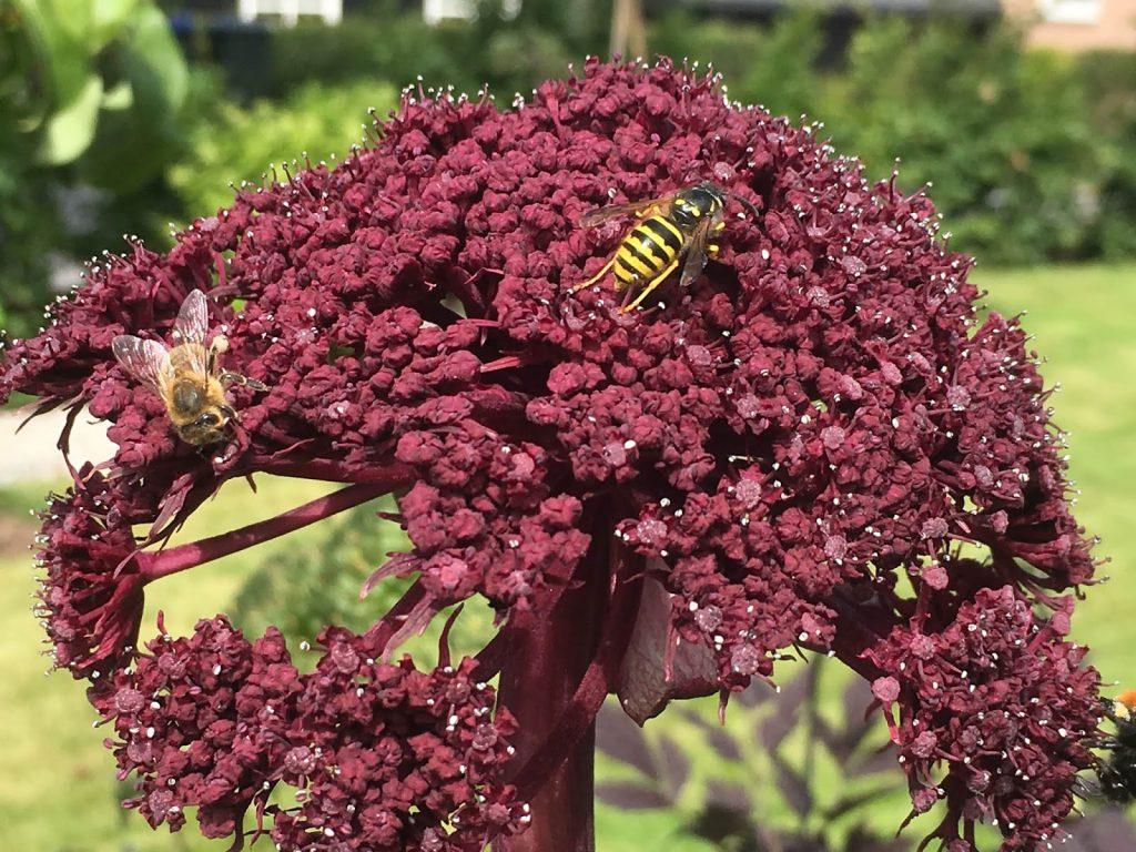 10 tiltak det offentlige kan gjøre for å minske insektsdød - Kvann med insektsbesøk