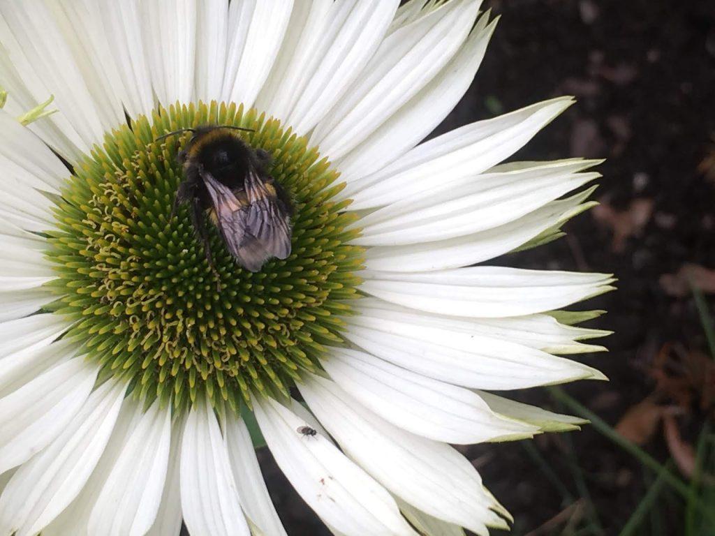 10 tiltak det offentlige kan gjøre for å minske insektsdød - Solhat med humlebesøk