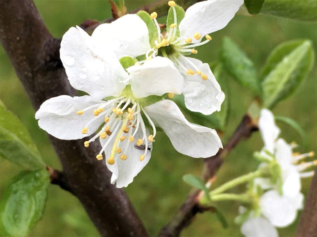 Når og hvordan beskjærer du frukttrær  - Blomst på frukttre