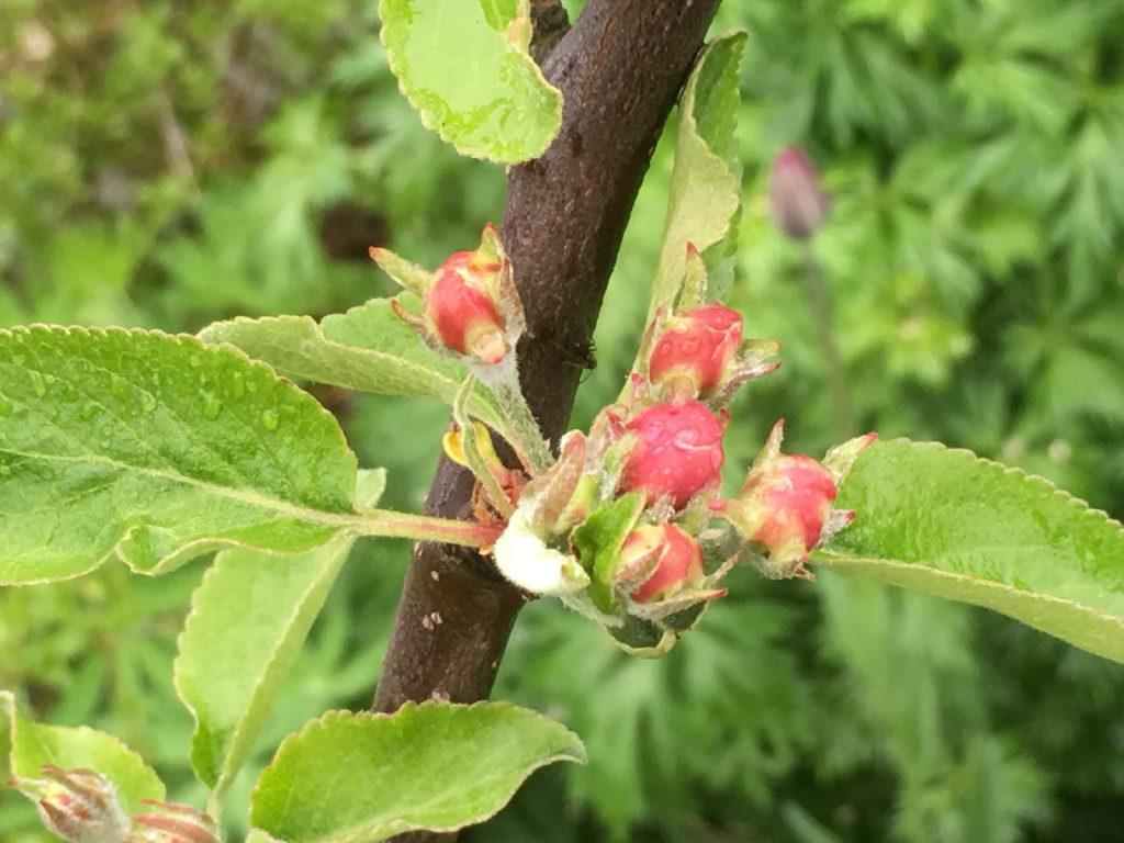 Når og hvordan beskjærer du frukttrær - Epleblomst i knopp