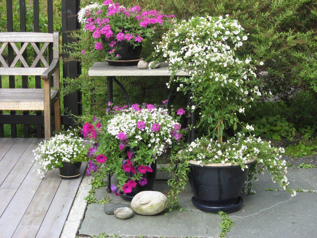 Krukkeblomster i lilla og hvitt