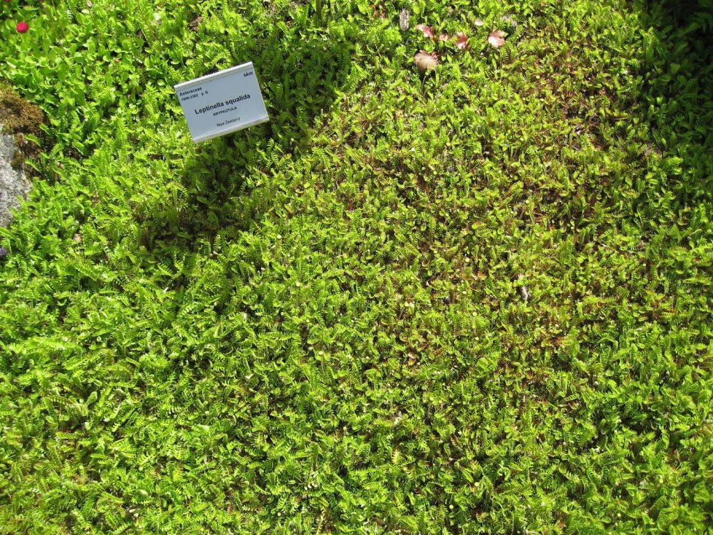 På utflukt til Gøteborgs botaniske Hage - Tråkkbregne - Lepinella squalida - Gøteborgs botaniske hage