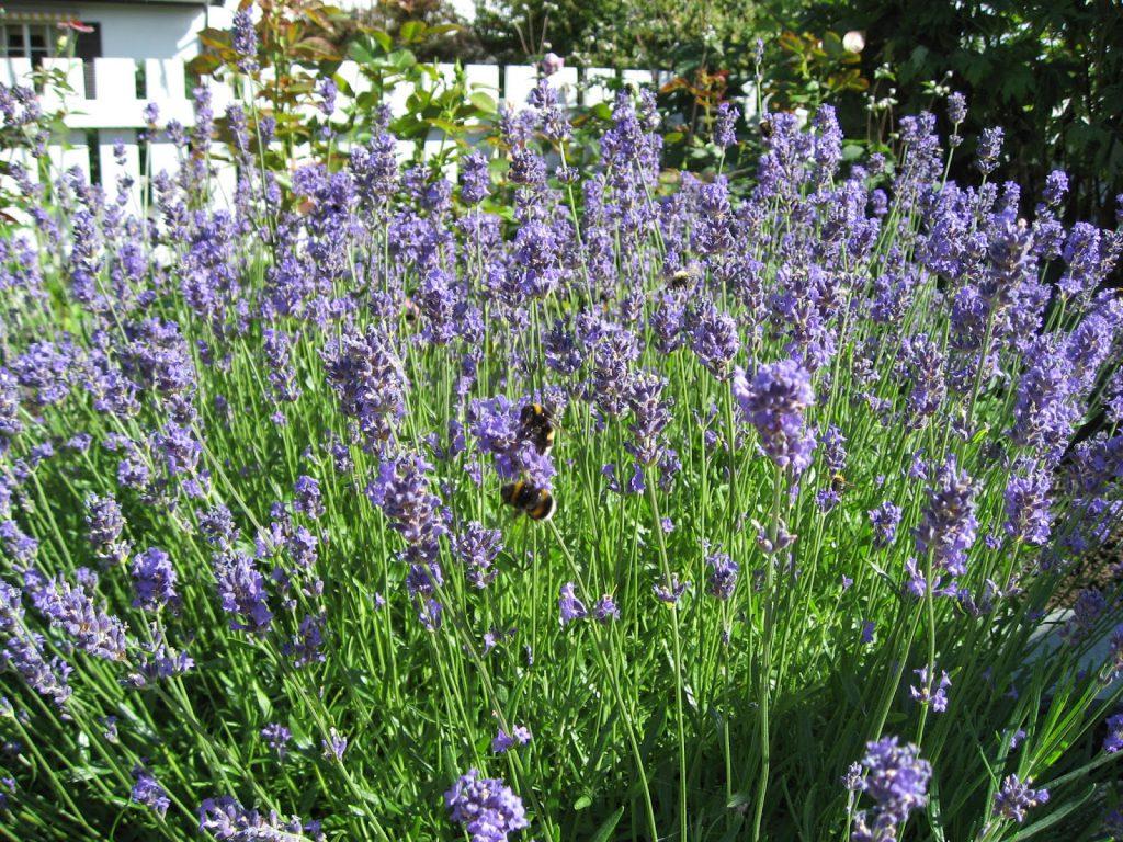 Lavendelplanter med humlebesøk