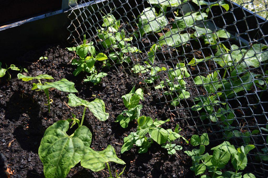7 grunnleggende steg for å dyrke dine egne grønnsaker. Grønnsaker i vekst i pallekarmer, hyttehagen