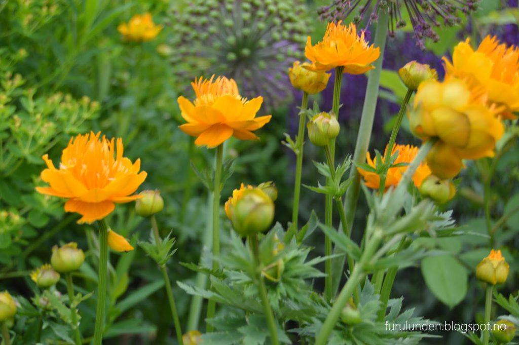 Historikk og oppskrift på en cottage garden. Solgult innslag i blomsterbedet