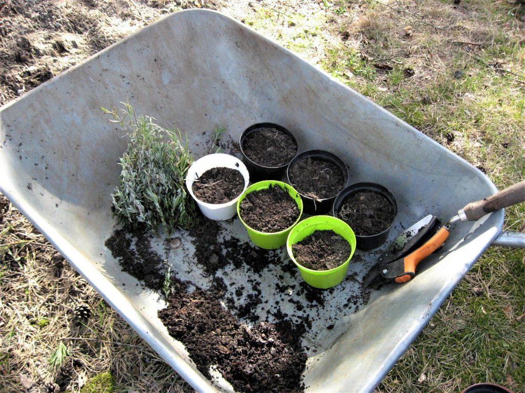 Lavendel - hvordan lage dine egne stiklinger? - Potter klargjøres med jord for lavendelstiklinger