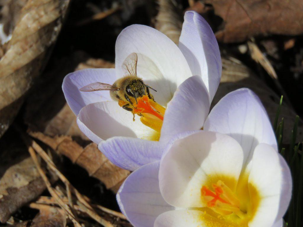 La humla suse - Krokus - matfat for insekter