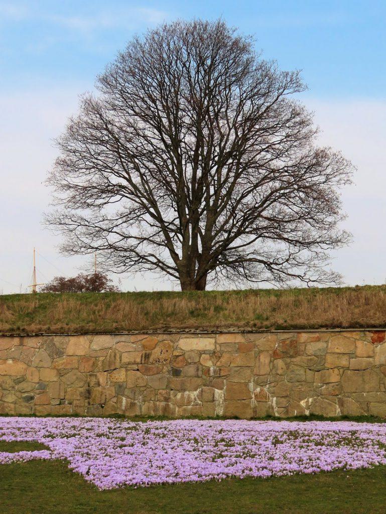 Krokus - de sikreste vårtegn og  Fredrikstads fargepalett - Krokus i blomst og treet fortsatt bart for blader IMG_0960 (2)-min