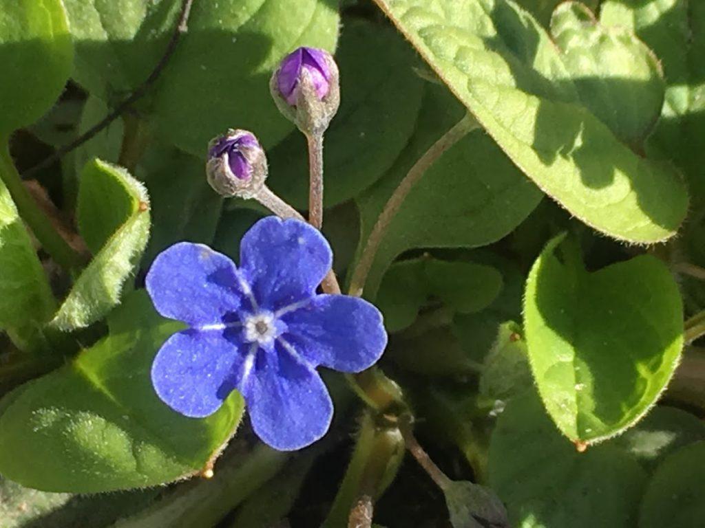 Tips til bariasjoner av blå vårblomster i krukker