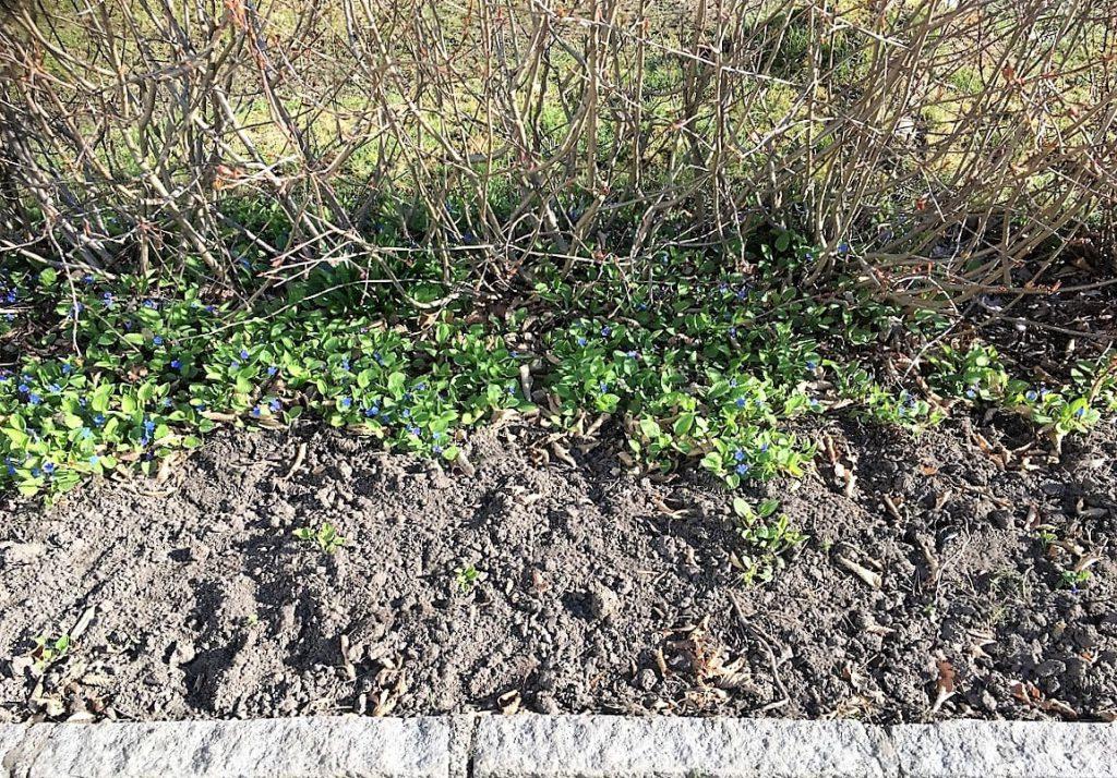 Vårkjærminne - jeg blir så glad når den dukker opp om våren - område med denne blomsten IMG_5497 (2)-min