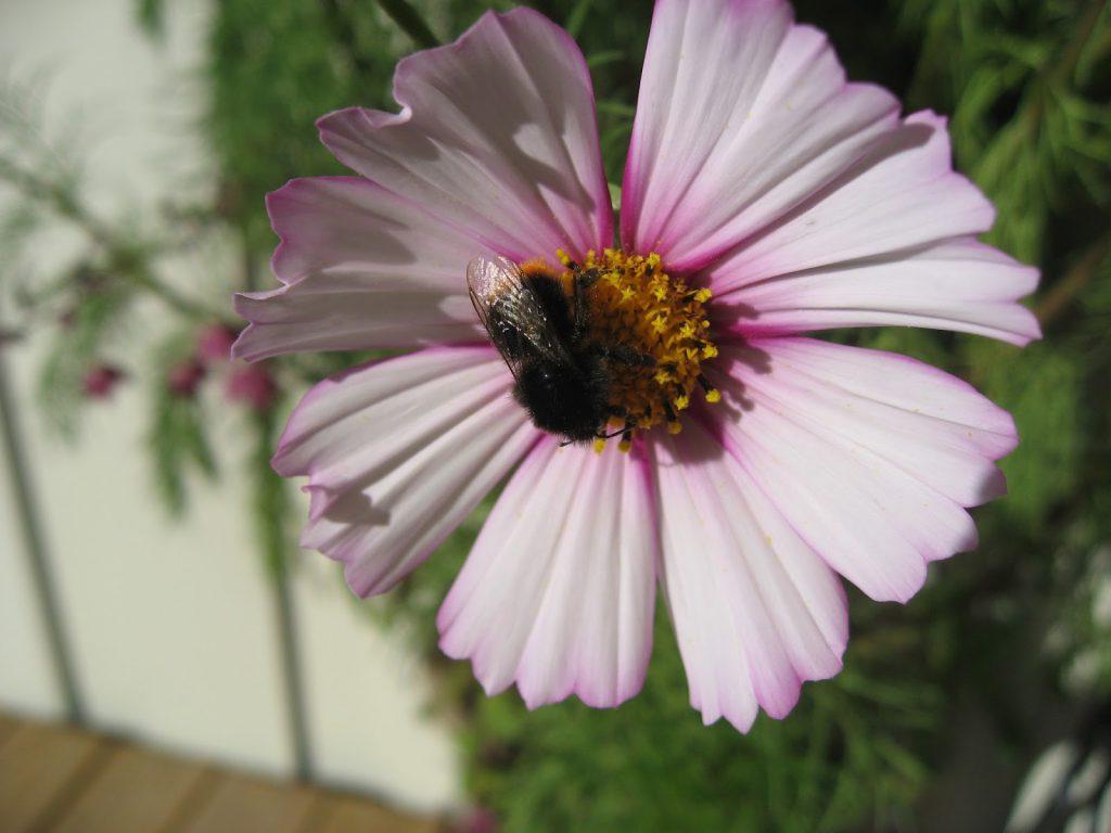 Tips til humlevennlige planter for hagen din - Cosmos - pyntekorg på norsk