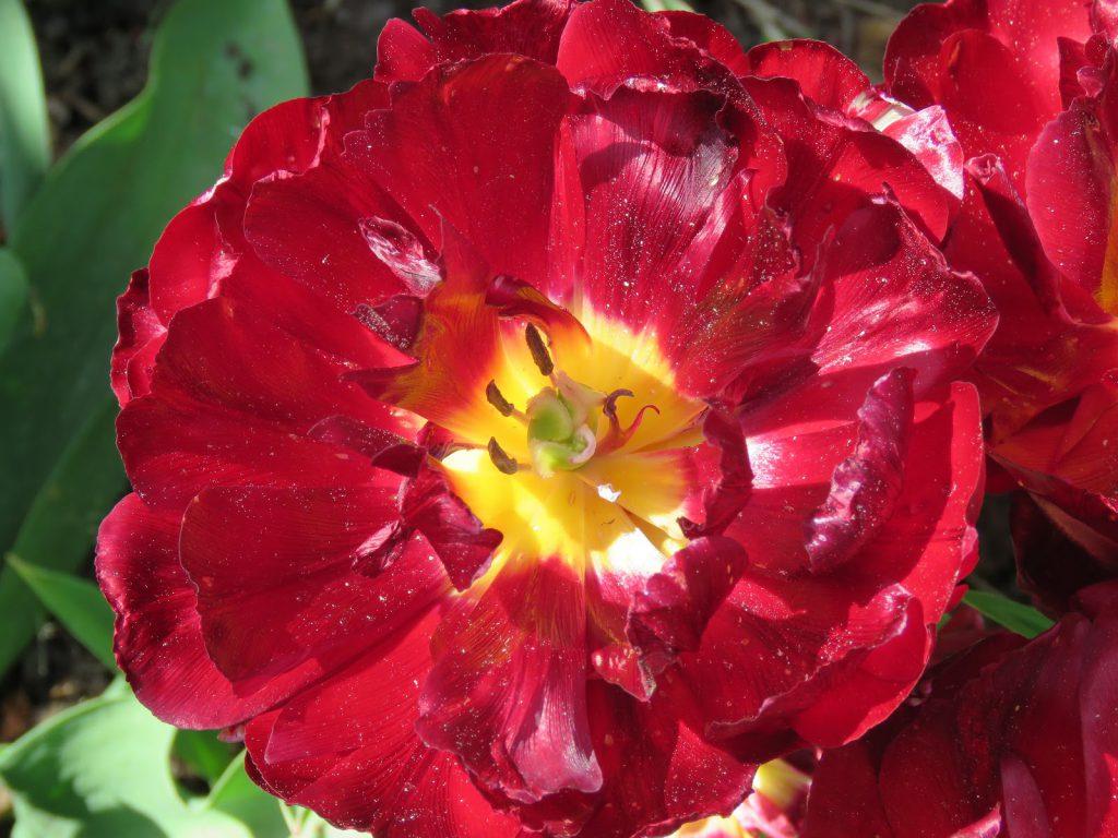Tulipaner som ser ut som roser - Tulipa 'double late' uncle Tom