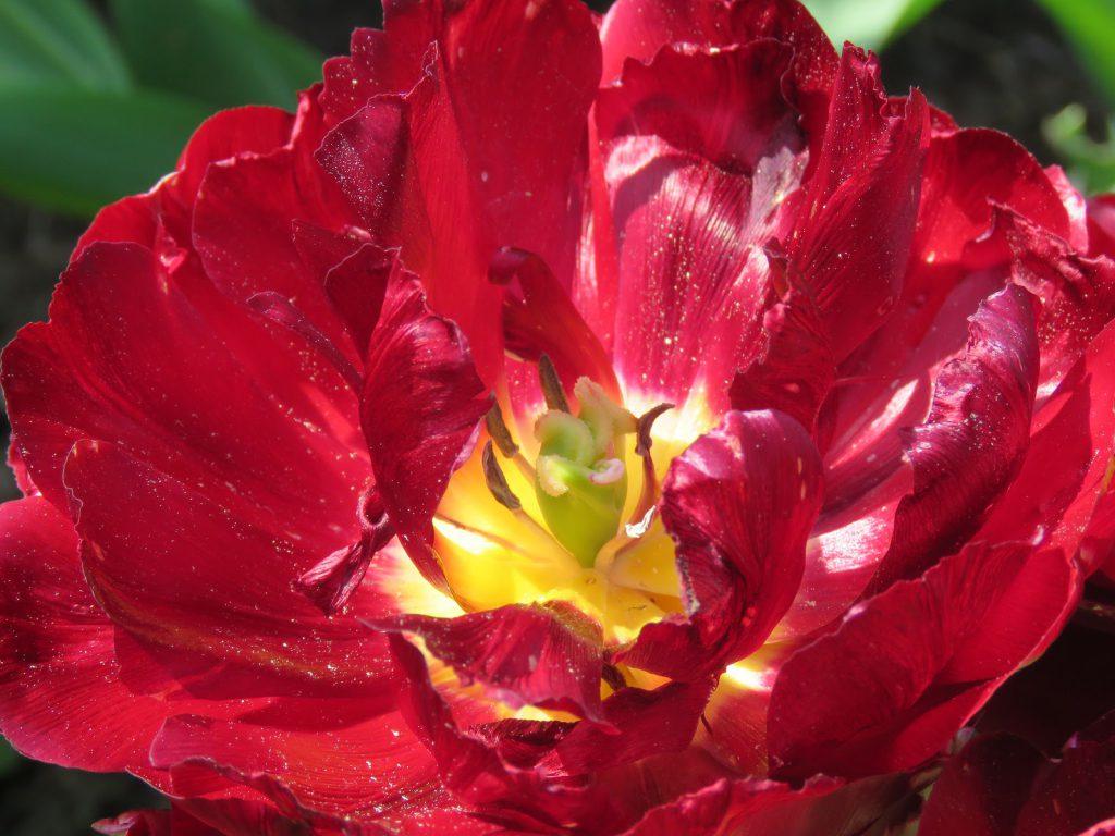 Tulipaner som ser ut som roser - makaløse tulipan